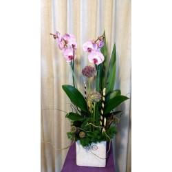 Orquídea paleonopsis