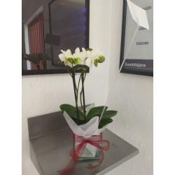 Orquídea paleonopsis mini